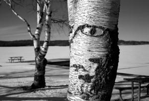 White birch tree close up