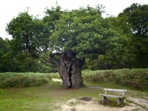 Short fat hardwook oak tree
