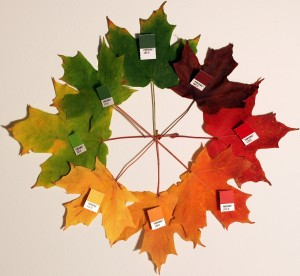 Maple leaves in various fall colors