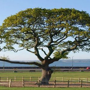 Oak tree with large canopy