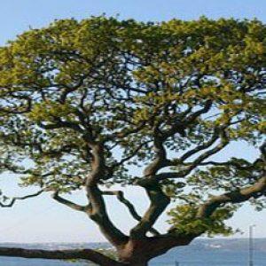 Oak tree, top only