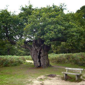 Short Fat Oak