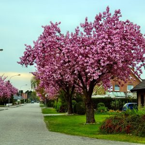 Black Cherry Tree Blossoms